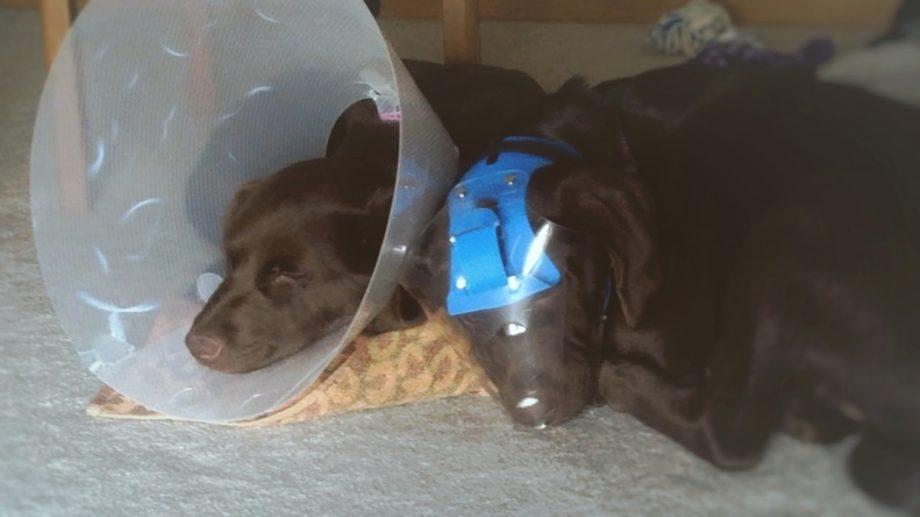 Optivizor pet's eye protection